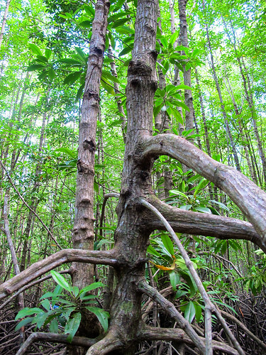 mangrove ecosystems research mangroveswamps naturalresources cifor verticals stocks forests root tree emissions kubu environment kalimantan climatechange swamp waterresources activity east water methodology carbon indonesia scenery habitats river forest ecologicalrestoration ecosystemservices adaptation sciences work mitigation wetlands scientist