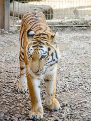 Maman tigre se rapproche