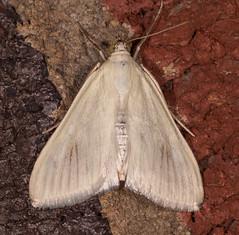 Greenish-yellow Sitochroa Moth