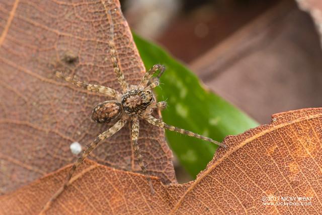 Araignée-loup (Lycosidae) - DSC_7094