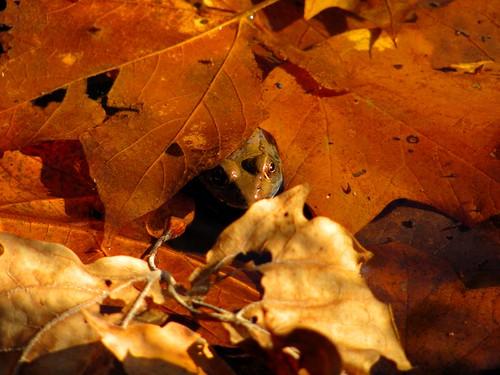 Toad hidden in the fallen leaves. Photographer Joann Kraft