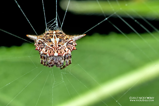 Spiny orb weaver (Gasteracantha sp.) - DSC_7397