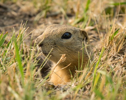 gopher (Richardsons ground squirrel)