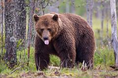 Bear and tongue