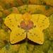 Lappet Moth (Trabala sp., Lasiocampidae), female by John Horstman (itchydogimages, SINOBUG)