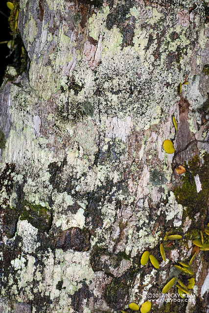 Bark mantis (Theopompa tosta) - DSC_7719