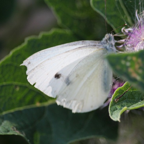 butterfly cabbagewhite pierisrappae oshawa ontario canada can groupcharlie