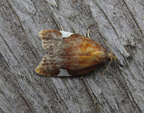 Acleris holmiana Tophill Low NR, East Yorkshire July 2017