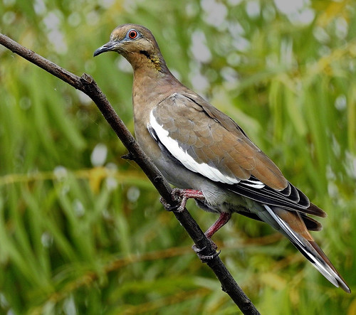 DSCN8926 White-winged Dove