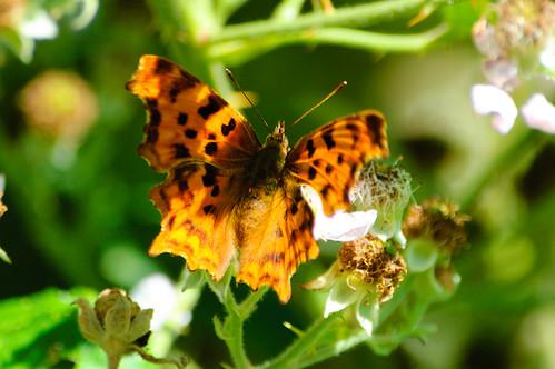 Wild Wolverhampton - comma butterfly