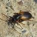 Anchomenus dorsalis (Carabidae - Ground Beetles) by Simon in the Alpujarras