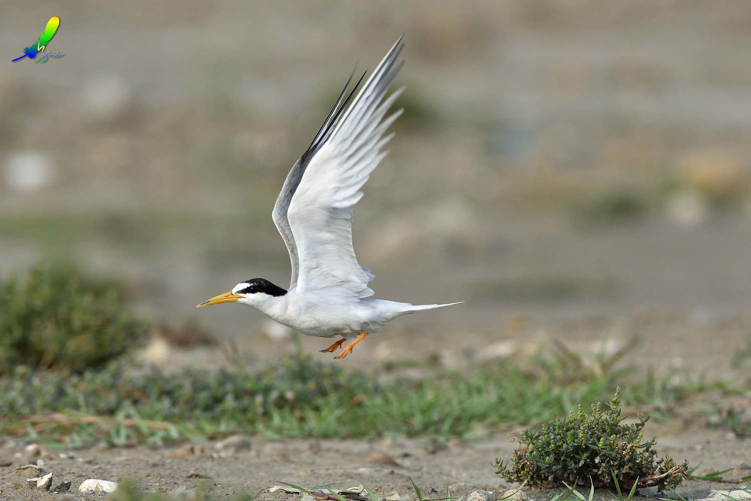 Little_Tern_9074