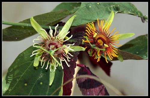 Passiflora 'Sunburst' = gilbertiana x jorullensis 35590762960_20175d53da