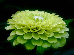Dahlia, Yellow to Green 1 (1 of 1)