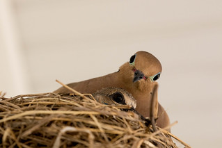 Dove and Hatchling