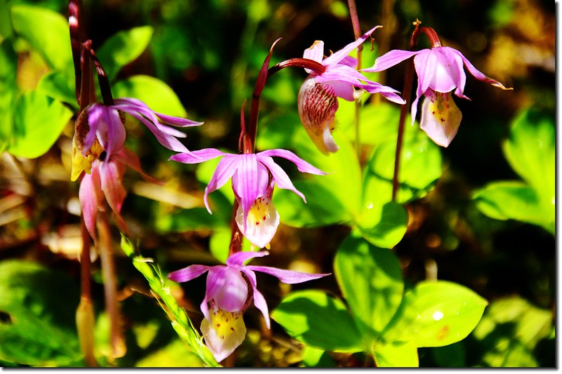 Fairy Slipper orchid (1)