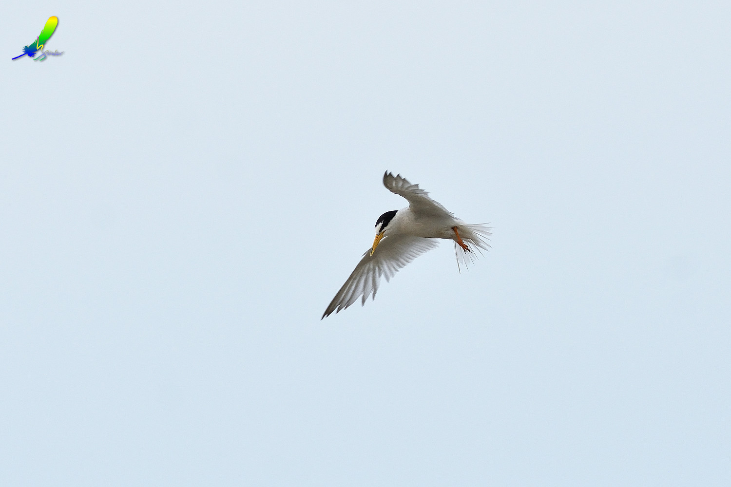 Little_Tern_9286