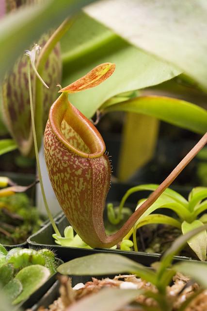 Nepenthes x pyriformis