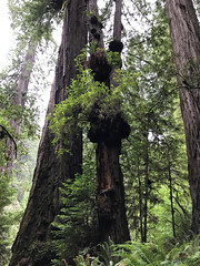 Redwood burls
