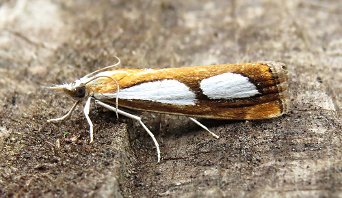 Catoptria pinella Tophill Low NR, East Yorkshire July 2017