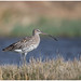 European Curlew - Wulp (Numenius arquata)
