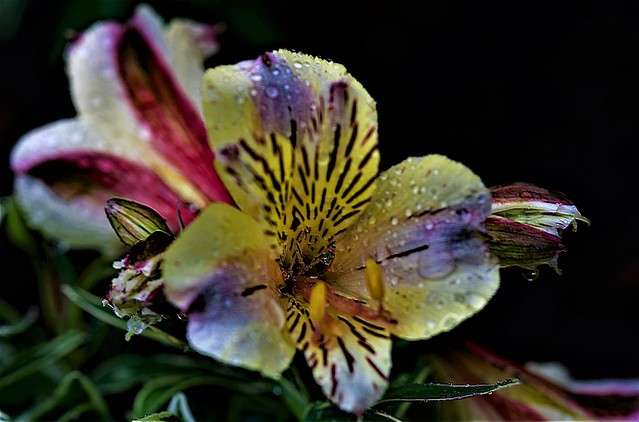 Water droplets on Peruvian Lillies