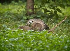Fledgling hawk meets a squirrel