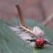 Samurai caterpillar