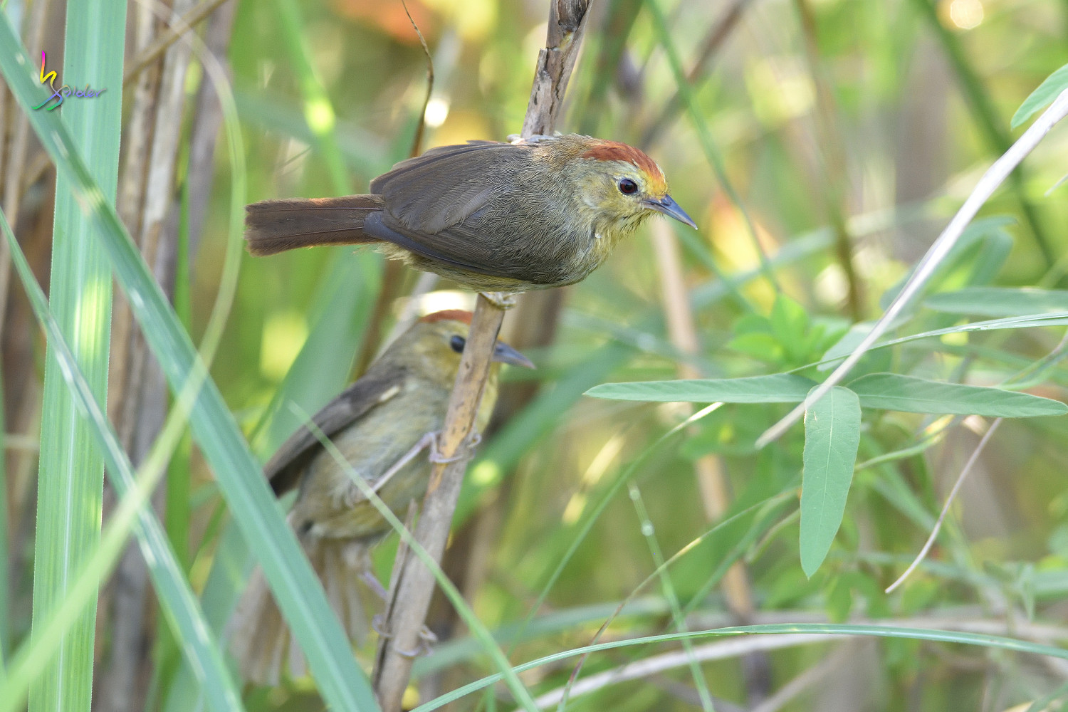 Red-headed_Babbler_0758