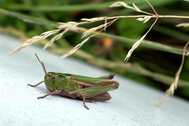grasshopper | harlow carr | harrogate 28/52