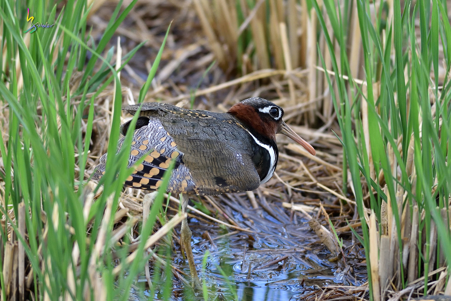 Painted_Snipe_1400