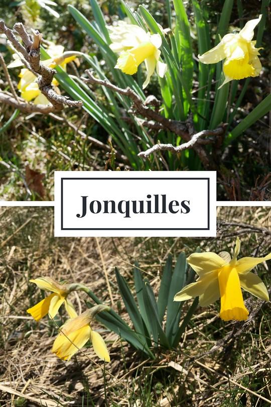 02_Jonquilles