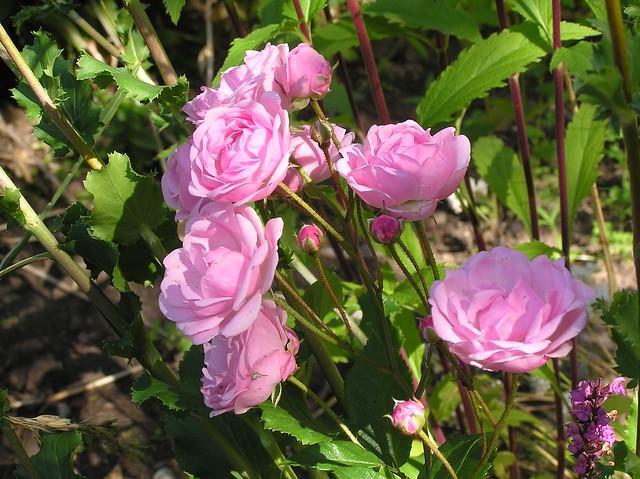 Rosa 'Mõrsjaroos'
