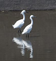 Snowy Egret (Egretta thula)_DSC0099-editCC