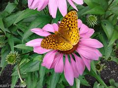 Great Spangled Fritillary Butterfly 20170702_140947-18.jpg