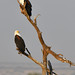 African Fish Eagles (Helen Pinchin)