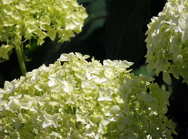 White 'Snowball' Hydrangea flowers