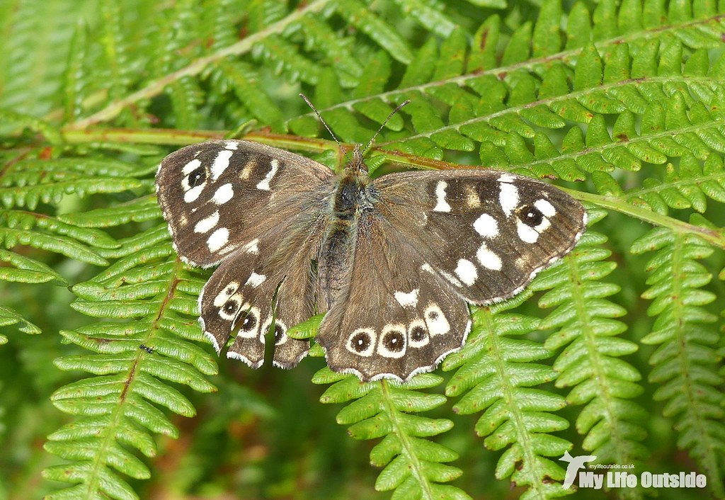 P1100081 - Speckled Wood, Glengorm