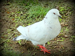New York City Birds: Rock Dove