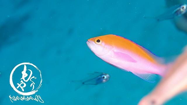 フタイロハナゴイ幼魚ちゃん♪