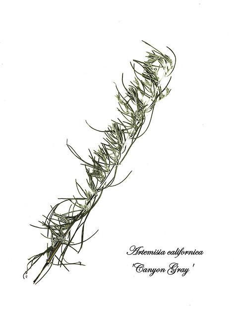 E20170720-0002—Artemisia californica—RPBG