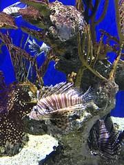 Lion fish at Georgia Aquarium in Atlanta