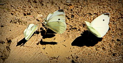 Papillons !