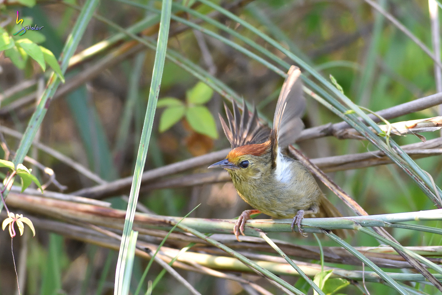 Red-headed_Babbler_0885