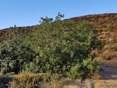 Southern California black walnut