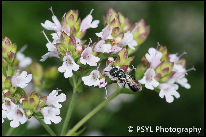 Ceratina bee on Origanum vulgare