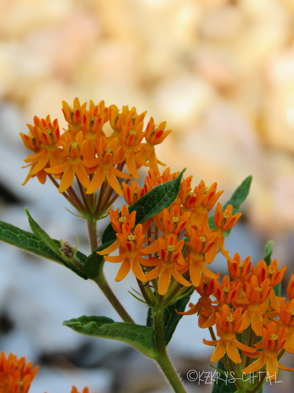 IMG_4345ButterflyWeed