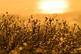 Golden Hour Grasses 2