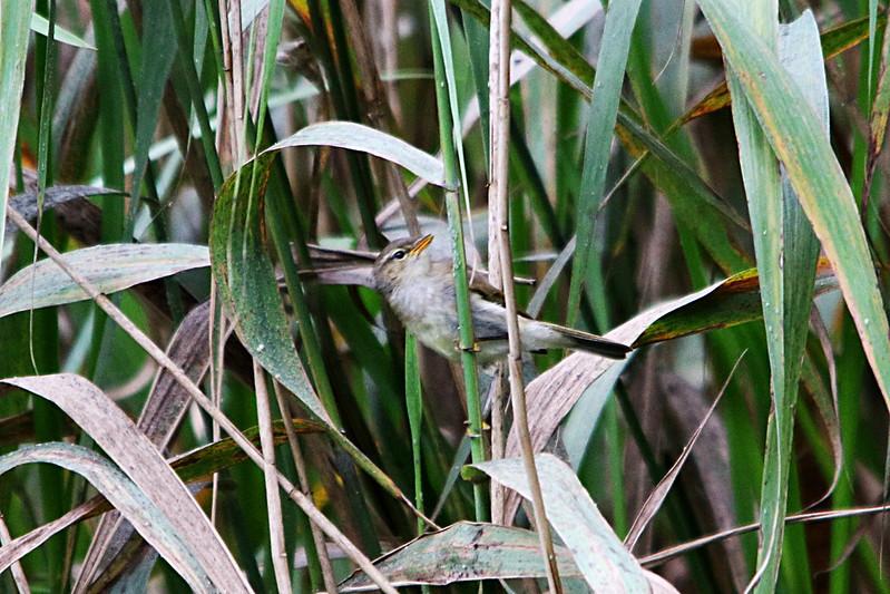 Juvenile Willow Warbler