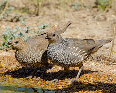 Scaled Quail Pair